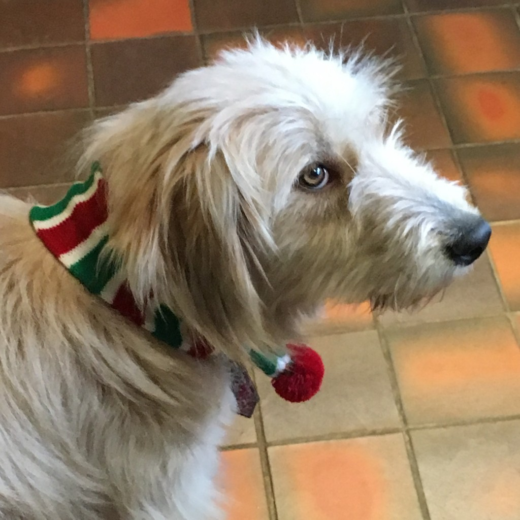 Flossie modelling her festive Christmas scarf